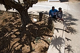 Brava : Vila Nova Sintra : dragon tree : People Recreation