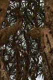 São Nicolau : Fajã : dragon tree : Nature Plants