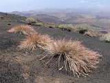 Fogo : Bordeira : Endemische Vegetation : Nature Plants