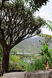 Santo Antão : Paul Chã de Padre : dragon tree : Nature Plants