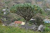 Santo Antão : Monte Joana : dragon tree : Nature Plants
